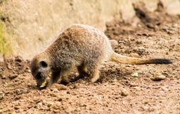 成人Meerkat和Cub 免版税库存照片