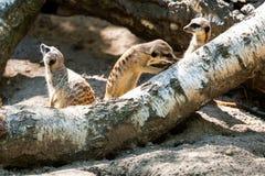 成人meerkat的特写镜头 免版税库存图片