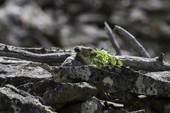 成人pika (第一公民的鼠兔属)运载食物到它的干草堆 免版税库存照片