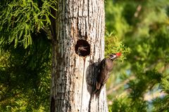 成人pileated啄木鸟鸟Dryocopus pileatus哺养婴孩池氏 库存图片