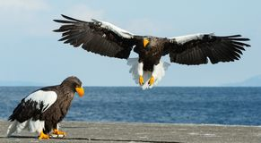 成人Steller的海鹰着陆,传播的翼 库存图片