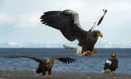 成人Steller的海鹰着陆 免版税库存照片