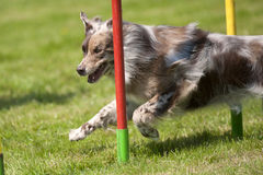 成功博德牧羊犬通过障碍滑雪 免版税库存图片