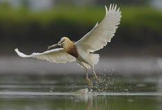 成功爪哇苍鹭cathing的鱼的atempt 免版税库存照片