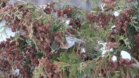 成年女性欧洲siskin在冬天吃金钟柏种子  影视素材