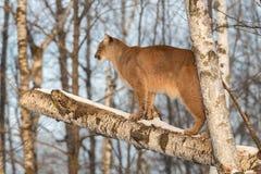 成年女性美洲狮美洲狮concolor在面对的树站立左 库存照片