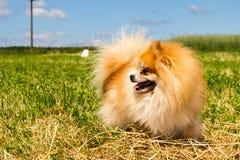 成年女性Pomeranian波美丝毛狗 免版税库存图片