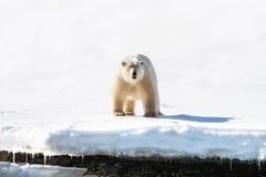 成年男性北极熊正面图在斯瓦尔巴特群岛 库存照片