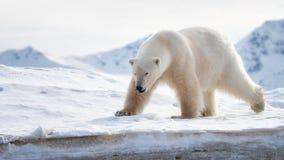 成年男性北极熊站立在冰边缘在斯瓦尔巴特群岛 免版税库存图片