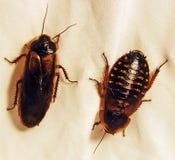 成年男性和女性Dubia蟑螂 免版税库存图片
