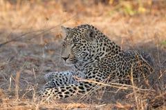 成年男性豹子休息 免版税库存照片