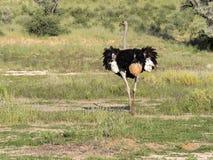 成年男性驼鸟,非洲鸵鸟类骆驼属,在卡拉哈里草,南非 免版税库存图片