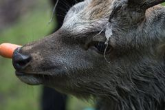 成年男性鹿吃一棵红萝卜 免版税库存图片
