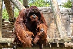 成年男性bornean猩猩 图库摄影