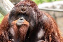 成年男性bornean猩猩 免版税库存图片