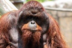成年男性bornean猩猩 库存照片