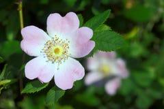 成波状的花玫瑰 库存照片