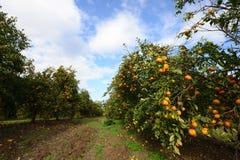 成熟中国柑桔树在农厂庭院里 免版税库存照片