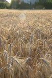 成熟五谷和农场的领域 免版税库存图片
