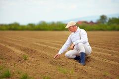 成熟人,可耕的领域的农夫,检查植物生长 免版税库存图片