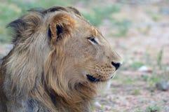 成熟公狮子(豹属利奥) 免版税图库摄影
