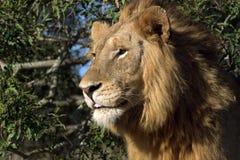 成熟公狮子(豹属利奥) 图库摄影
