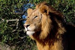 成熟公狮子(豹属利奥) 库存图片