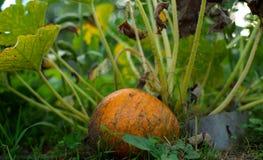 成熟南瓜在庭院里 图库摄影