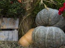 成熟南瓜绿色大在与堆的模糊的背景玉米穗与收获的拷贝空间levensky样式标志的 图库摄影