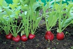成熟卵形红色萝卜 免版税图库摄影