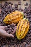成熟可可粉荚和干可可粉种子在手中 库存图片