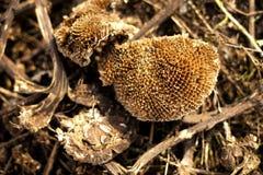 成熟向日葵植物 免版税库存照片