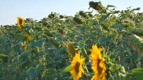 成熟向日葵领域 在温暖的晚上光的向日葵领域 在日落期间的向日葵领域 干向日葵 股票录像