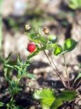 成熟和开胃草莓在地面增长 免版税库存照片