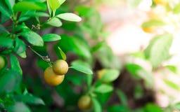 成熟和成熟在柑橘树的橙色和黄色蜜桔与叶子 库存照片