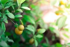 成熟和成熟在柑橘树的橙色和黄色蜜桔与叶子 免版税库存图片