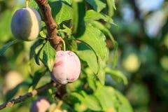 成熟和未成熟的李子果子在树的 免版税图库摄影