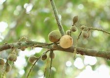 成熟和未成熟的Langsat果子 库存照片