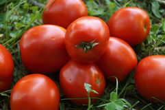 成熟和红色蕃茄 免版税图库摄影