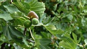 成熟和绿色无花果在无花果树结果实 股票视频