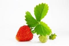 成熟和水多的红色草莓莓果 免版税库存图片