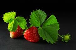 成熟和水多的红色草莓莓果 图库摄影