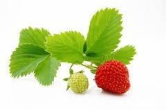 成熟和水多的红色草莓莓果 免版税库存照片