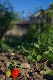 成熟和绿色草莓 免版税库存照片