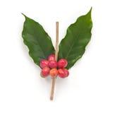 成熟咖啡豆。 库存照片
