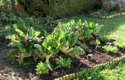 成熟唐莴苣在一个菜园里 图库摄影