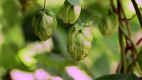 成熟啤酒花球果树,锁着的下来实时录影特写镜头在领域的 股票视频