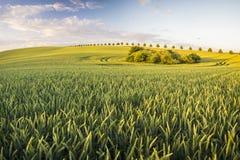 成熟在一个领域的玉米在一个清楚,晴天 免版税库存图片