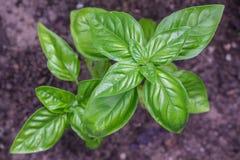 成熟在一张被上升的床ga上的新鲜,美味,甜,热那亚的蓬蒿 免版税库存照片