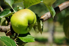成熟在分支的布拉姆利烹饪苹果 免版税库存照片